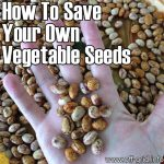 How To Save Your Own Vegetable Seeds