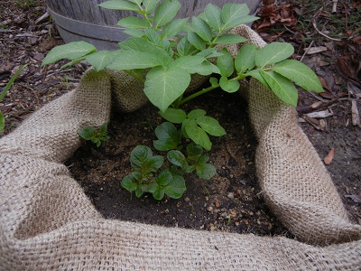 How to Grow Potatoes in Recycled Coffee Sacks!.