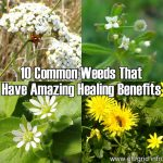 10 Common Weeds That Have Amazing Healing Benefits