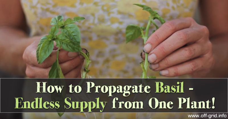 How to Propagate Basil - Endless Supply from One Plant!