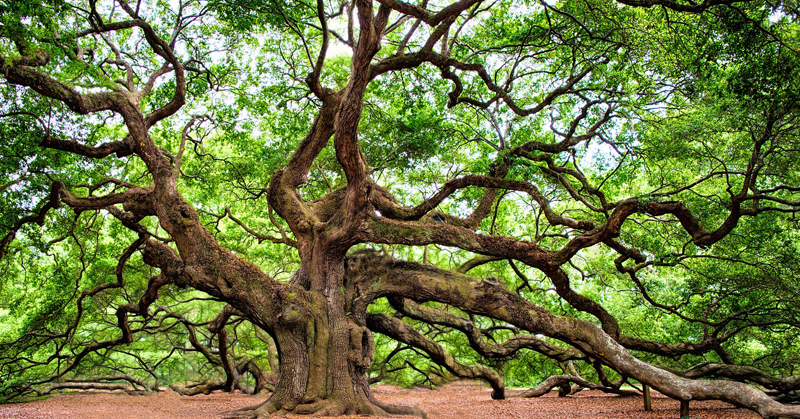 1500-Year-Old Angel Oak Tree In South Carolina