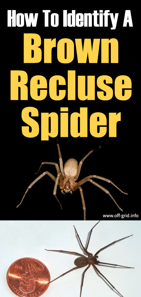 How To Identify A Brown Recluse Spider