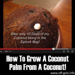 How to Grow a Coconut Palm from a Coconut!