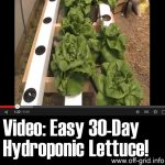 Easy 30 Day Hydroponic Lettuce!
