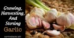 Growing, Harvesting, And Storing Garlic