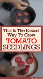 This Is The Easiest Way To Grow Tomato Seedlings – And It's Free
